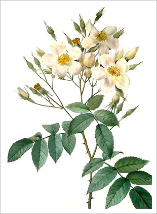 Rosa Moschata, by Redoute